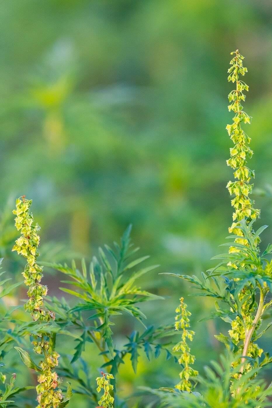 цвет амброзии