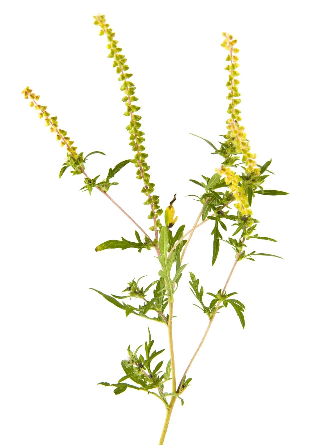 цветет амброзия
