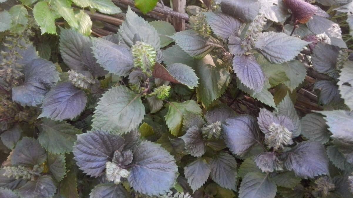 буроли́стка однорі́чна (Perilla frutescens) алерген